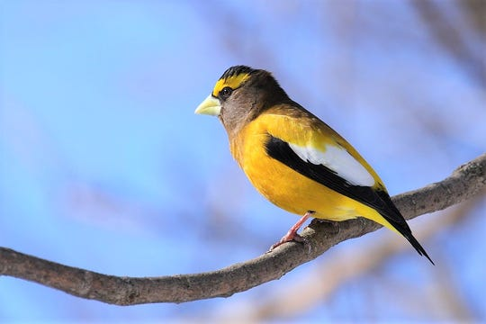 An evening grosbeak.