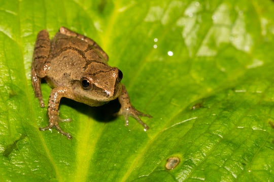 A Northern Spring Peeper crawling on a skunk cabbage leaf.