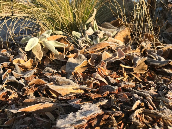 Shredded woodchip mulch helps soil hold moisture and insulates plant roots on a frosty November morning.