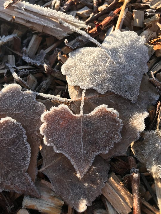 Frosty cottonwood leaves add a nice layer on top of several inches of shredded woodchip mulch.