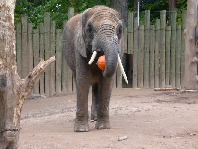 """During the past two weeks, 42-year-old African elephant Genny C """"has had more significant episodes of pain and difficulty walking,"""" the zoo said in a statement."""