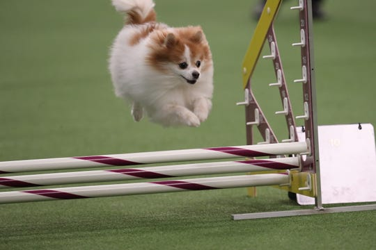 A dog competing in  a Westminster Kennel Club agility competition.