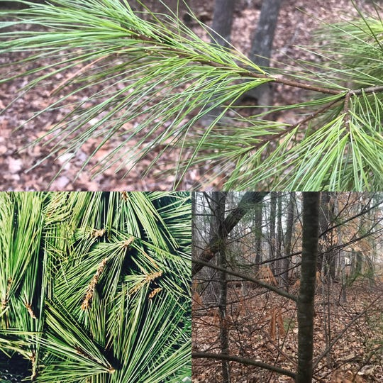 White pine (Pinus strobas) is common across Madison County.