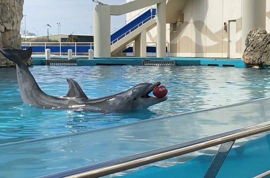 The Texas State Aquarium's dolphin, Kai, made his pick for Super Bowl LIV.