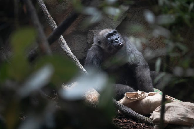 Samantha, who turned 50 Friday, January. 31, 2020 takes a break from her party. She and other gorillas were treated to cake and other treats scattered around the their indoor habitat. Samantha died March 29, 2020.