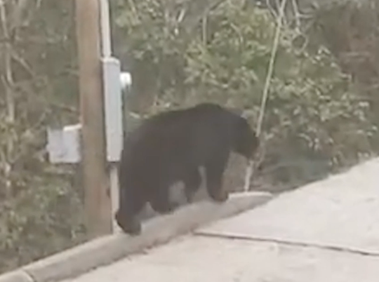 A family of bears visited a group of tourists at Chalet Village in Gatlinburg and gave them a big surprise when one of them opened a car door and got inside.