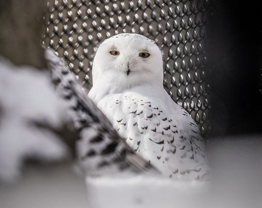 Seneca Park Zoo has a new male snowy owl, Tundra.