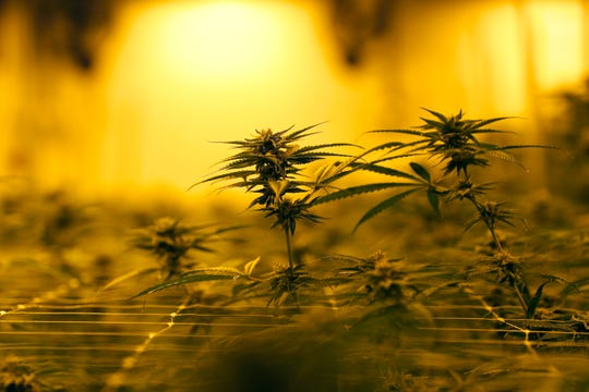 In this Aug. 6, 2019 file photo, Marijuana plants growing under special grow lights, at GB Sciences Louisiana, in Baton Rouge, La.