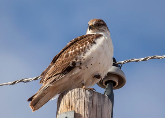 An immature ferruginous hawk is photographed atop a power pole. Keith Day and Jess Kinross, wildlife biologists for the Utah Division of Natural Resources, found 47 birds as they surveyed raptors in the Iron County area Thursday, Jan. 30, 2020.