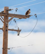 Keith Day and Jess Kinross, wildlife biologists for the Utah Division of Natural Resources, surveyed raptors in the Iron County area Thursday, Jan. 30, 2020. Among the 47 birds they counted was this adult red-tailed hawk.
