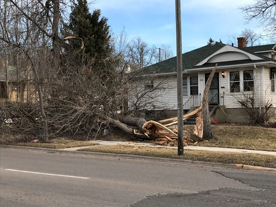 A tree knocked down during a wind event in Great Falls Saturday near the intersection of 2nd Avenue North and 21st Street.