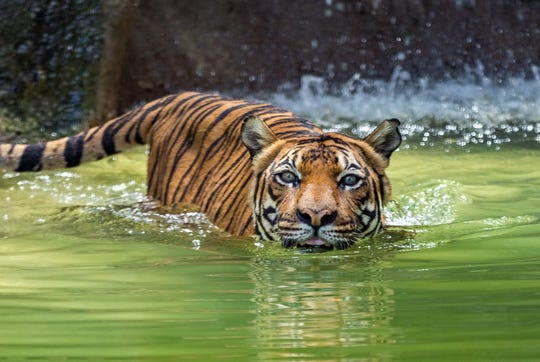 Baheem, an 18-year-old Malayan tiger, is seen in the water at Reid Park Zoo in Tucson. Baheem died on Jan. 31, 2020.