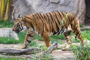 Baheem, an 18-year-old Malayan tiger, is seen at Reid Park Zoo in Tucson. Baheem died on Jan. 31, 2020.