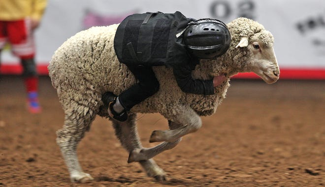 A young person competes in the mutton busting contest on the second day of the San Angelo Stock Show and Rodeo on Friday, Jan. 31, 2020.