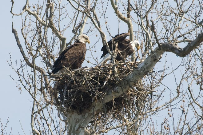 The Ohio Department of Natural Resources (ODNR) Division of Wildlife is attempting to find every bald eagle nest in the state.