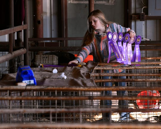Eighth-grader Callan Edgar sorts the ribbons her family won during the 2020 Shackelford County Youth and Livestock Show.
