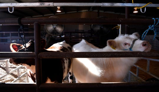 Well-groomed steers wait tied up beneath fans at the 2020 Shackelford County Youth and Livestock Show in Albany Jan. 24.