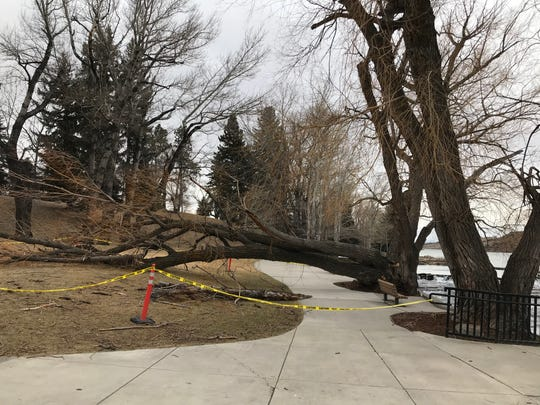 High winds on Saturday topped this large tree at Giant Springs State Park.