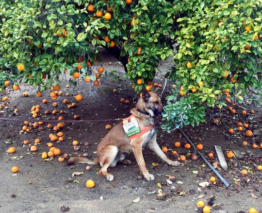 In this February 2017 photo provided by the United States Department of Agriculture, detector canine 'Szaboles' works in a citrus orchard in California searching for citrus greening disease, a bacteria that is spread by a tiny insect that feeds on citrus trees.