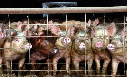 In this Jan. 4, 2005 file photo, a group of young pigs stare out of a pen at a hog farm in central North Dakota.