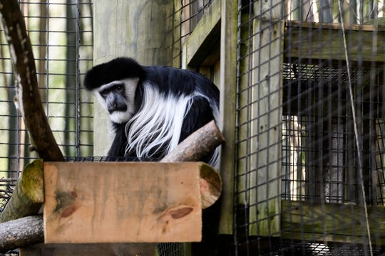 KJ, the 17-year-old Colobus monkey relaxes outside as the temperature reached 68 degrees at Mesker Park Zoo in Evansville, Monday afternoon, Feb. 3, 2020. He recently received stem cell treatment and chiropractic care, which staff veterinarian Dr. Carrie Ullmer says has helped his quality of life.