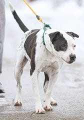 Achilles is a male, 6-year-old pitbull mix that is up-to-date on shots, microchipped and neutered. He's come a long way, pictured here Jan. 31, 2020.