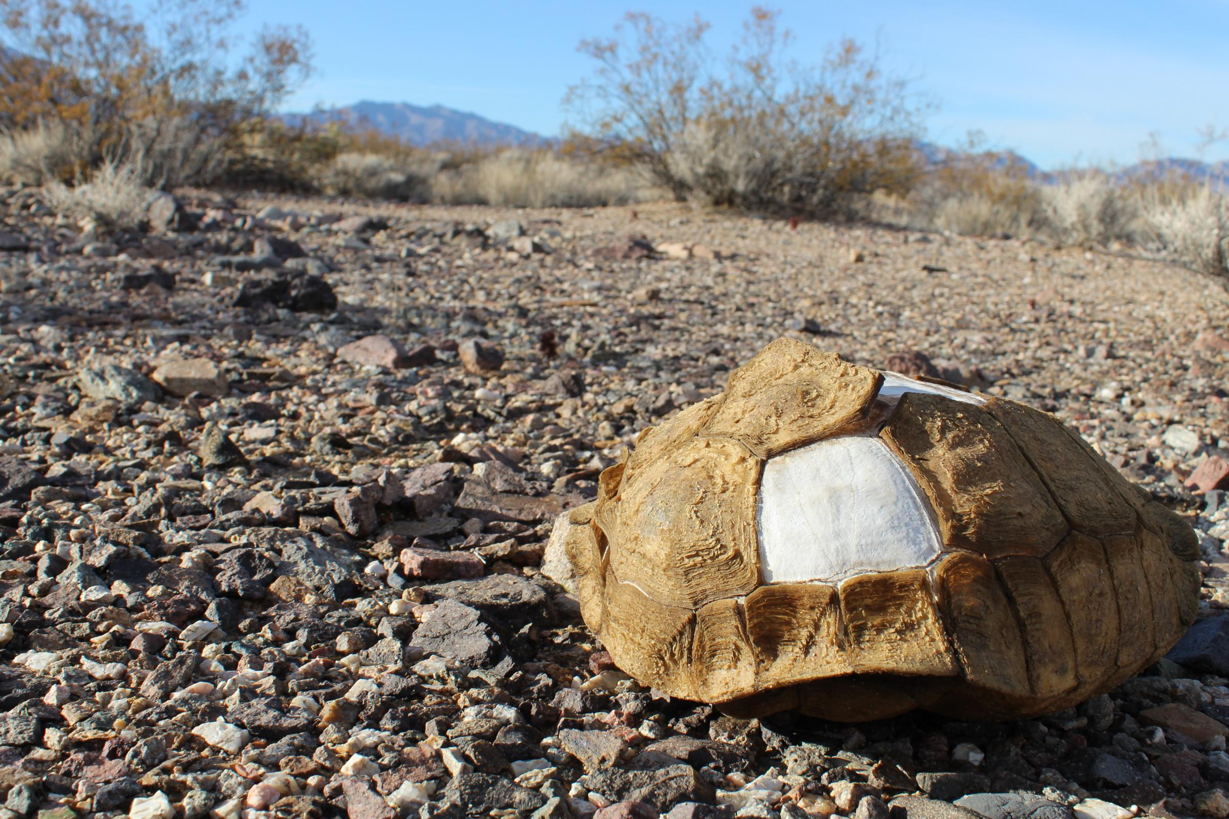 A tortoise shell rests in the Mojave desert on the Nevada-California border.