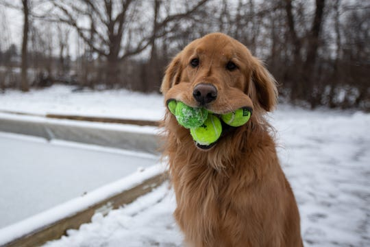Finley, a 6-year-old golden retriever, holds five tennis balls in his mouth at his family's home in Canandaigua, Ontario County, on Saturday, Feb. 1, 2020. His family first noticed his ability to hold four tennis balls a few years ago, and he's learned to use his paws to wedge up to six balls into his mouth on his own.