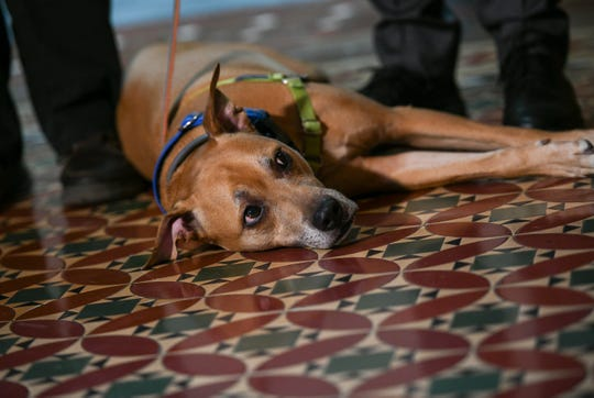 A dog rests on the fourth floor of the New York State Capitol; Feb. 3, 2020.