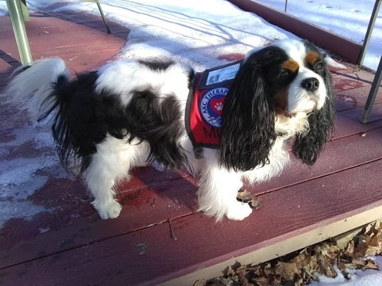 Murfee, a three-year-old Cavalier King Charles Spaniel, is running for Mayor of Fair Haven.