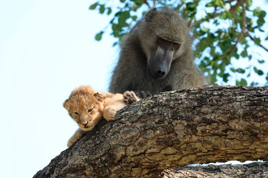 The baboon took the little cub into the tree and preened it as if it were his own, said safari ranger Kurt Schultz who said in 20 years he had never seen such behavior.