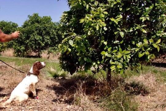"In this April 2016 photo provided by the United States Department of Agriculture, detector canine ""Bello"" works in a citrus orchard in Texas, searching for citrus greening disease, a bacteria that is spread by a tiny insect that feeds on citrus trees."