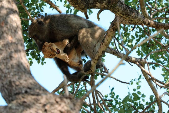 A male baboon carries a lion cub in a tree in  Kruger National Park, South Africa. The baboon took the little cub into the tree and preened it as if it were his own, said safari ranger Kurt Schultz. The fate of the lion cub is unknown.
