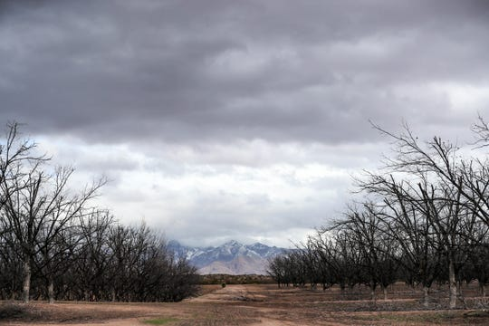 The Organ Mountains received a dusting of snow on Tuesday, Feb. 4, 2020. The valley below, including this orchard of pecan trees, got rain instead.