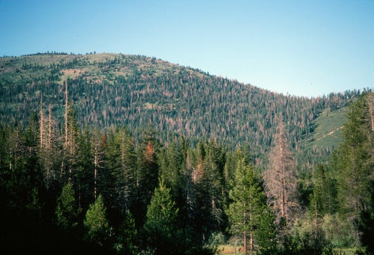 Second growth forests are easy to identify by their high density and the deaths that result from inadequate rainfall or fire.