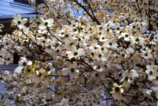 Native dogwoods have contracted a disease that makes them undesirable candidates for reforestation.