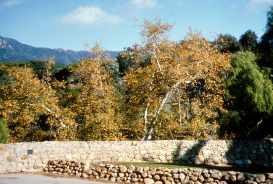 The native California sycamore, Platanus racemosa, is an important native of river bottoms and dry washes.
