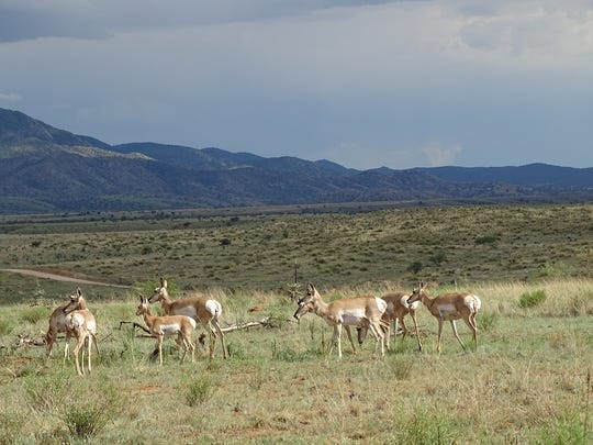 Pronghorn on Babacomari Ranch in southeast Arizona.