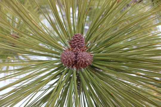 The Washoe pine needles grow in groups of three, and its small, reddish-purple cones have downward-pointing prickles.