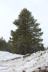 A Washoe pine, a variety of the ponderosa pine, growing near the Mount Rose Highway. The rare pine grows on the east slope of the Sierra, with a concentration in the Washe Valley.