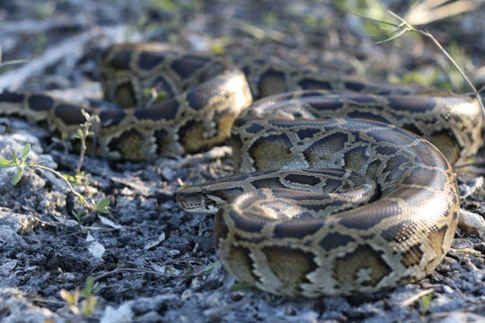 There are an estimated 100,000 invasive Burmese python living in the Everglades.