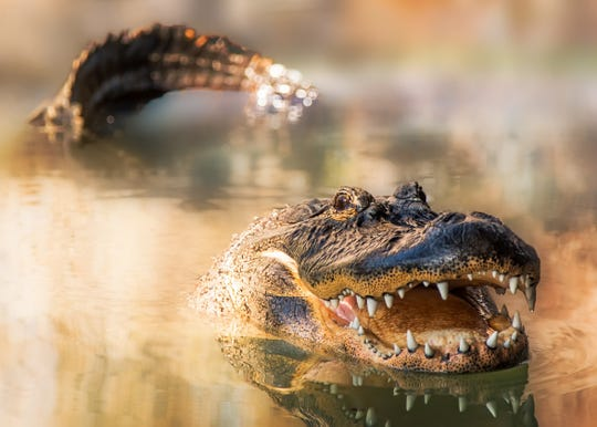 Spring is when alligators breed in the Everglades. To attract a mate, males vibrate their larynx to make loud, bellowing calls that can travel over a mile.
