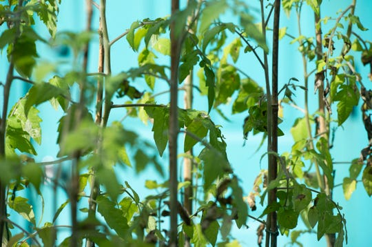 """Tommy Toe tomato plants grow on bamboo sticks in Corey """"Goo"""" Paul's home garden Friday, Jan. 31, 2020, in Fort Pierce. Paul's signature plant is the collard green, but he also grows tomatoes, peppers, lettuce, mangoes and pineapple."""