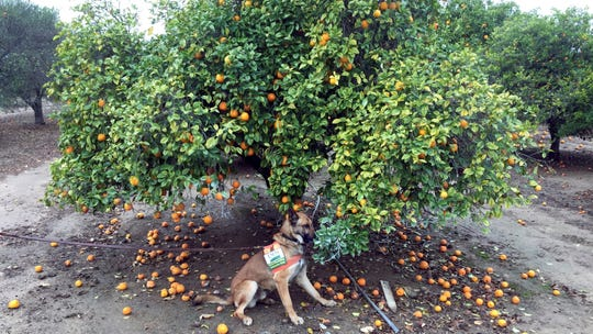 In this February 2017 photo provided by the U.S. Department of Agriculture, detector canine Szaboles works in a citrus orchard in California searching for citrus greening disease.