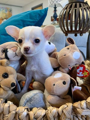 A puppy named Summer nestled in a basket of toys at the Asheville Humane Thrift Store.