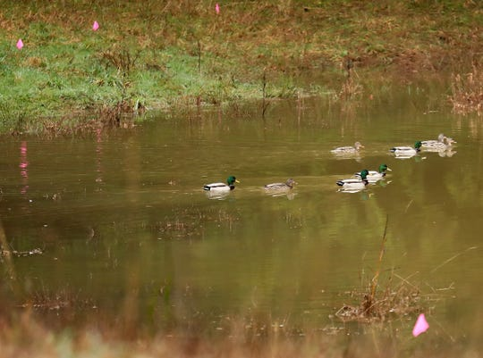 Mallards paddle through the silty water of the pond on Greg Kaplan's Port Orchard farm on Feb. 5.