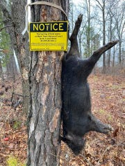 """Washington County landowner Dan Hopper found this feral hog Wednesday, hanging next to a """"no hog hunting"""" sign in the Mark Twain National Forest."""