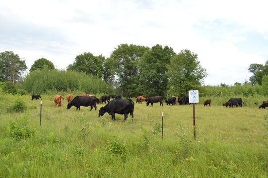 Cattle graze on the Sherburne National Wildlife Refuge as part of the conservation grazing program run through the summer.