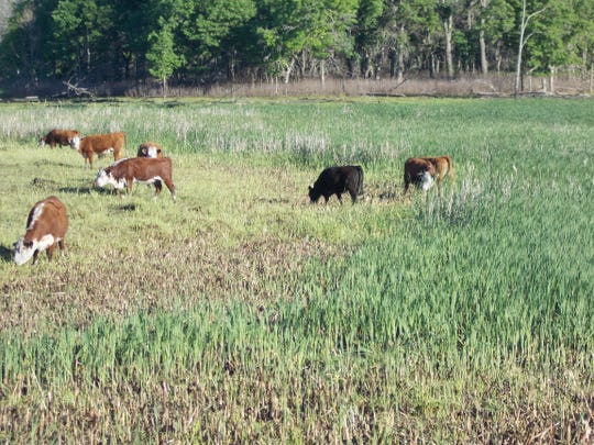 Cattle graze on invasive reed canary grass and cattail at the Sherburne National Wildlife Refuge.