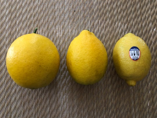 Lemon Comparison: left, Meyer lemon from a mature tree; center, Meyer lemon from a different recently planted tree; right, lemon purchased at grocery store.